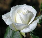 flor-blanca-preciosa