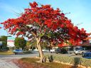Poinciana la cancion del arbol